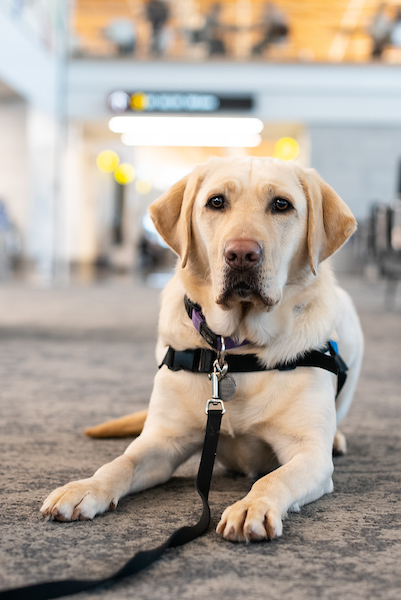 Gracie, a Golden Labrador in a volunteer harness, in the SEA terminal