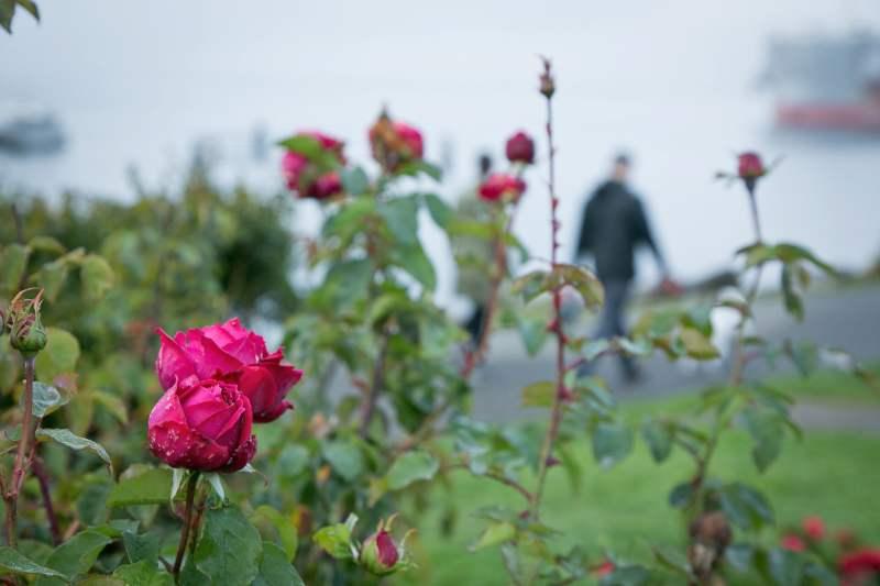Roses from Centennial Park